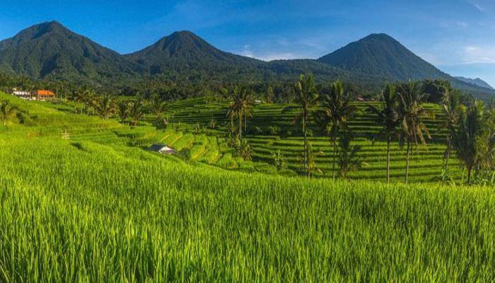jati-luwih-rice-terracess